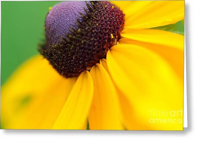 Flora Framed Prints Greeting Cards - Black eyed Susan Rudbeckia hirta Greeting Card by Jimmy Ostgard