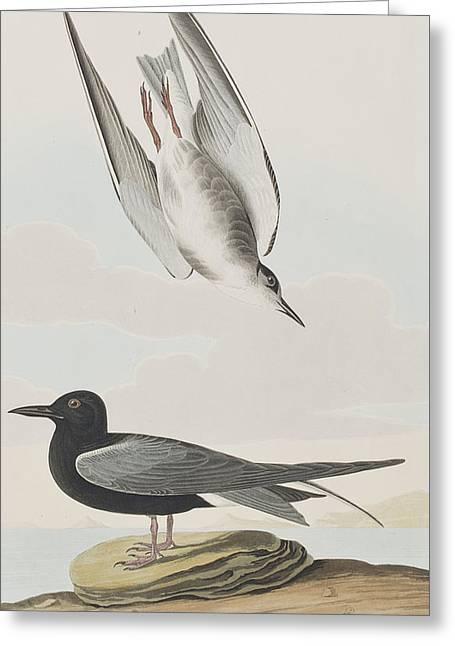 Blck Tern Greeting Card by John James Audubon