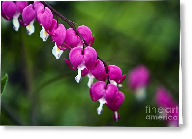 Close Focus Floral Greeting Cards - Bleeding heart Greeting Card by Dan Radi