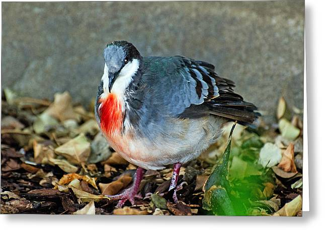 Bleeding Heart Dove Greeting Card by Cheryl Cencich