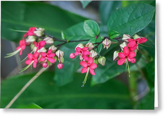 Dicentra Spectabilis Greeting Cards - Bleeding Heart Flowers Clerodendrum Painted 4 Greeting Card by Rich Franco