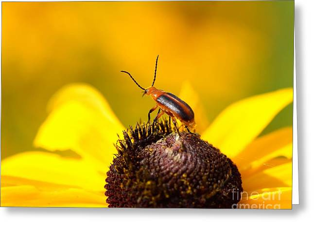 Bug Framed Prints Greeting Cards - Blister Beetle 2 Greeting Card by Jimmy Ostgard