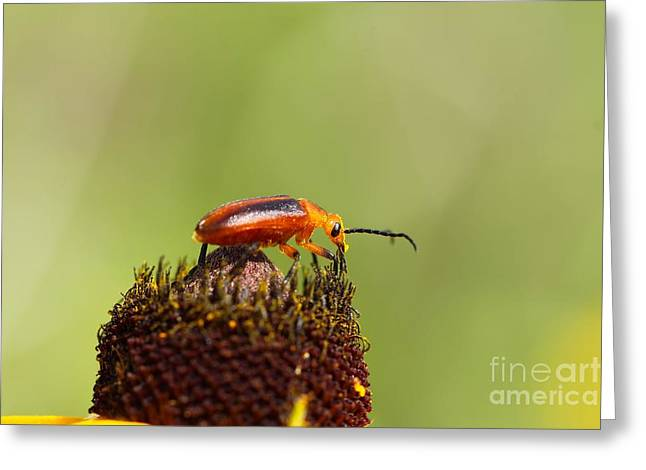 Flora Framed Prints Greeting Cards - Blister Beetle 1 Greeting Card by Jimmy Ostgard