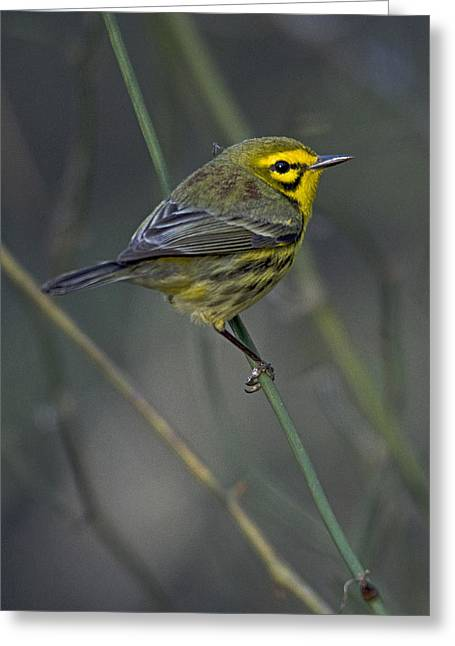 Wood Warbler Greeting Cards - Blood Rider Greeting Card by Eric  Nelson