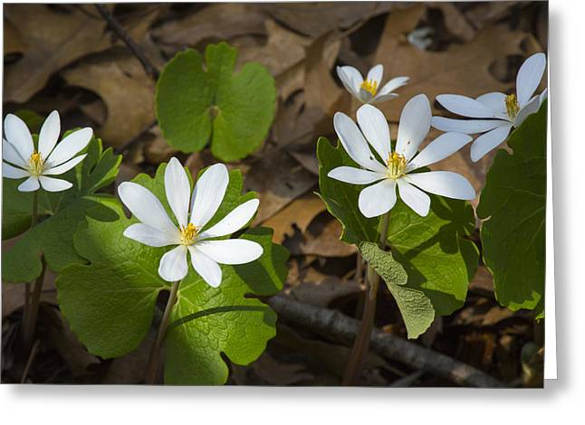 Forest Pyrography Greeting Cards - Bloodroot Greeting Card by Brent Snow