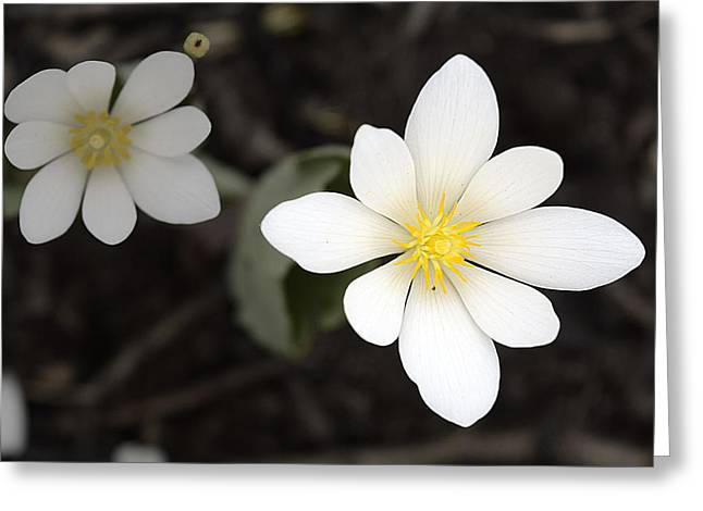 Emergence Greeting Cards - Bloodroot Greeting Card by Soul Full Sanctuary Photography By Tania Richley