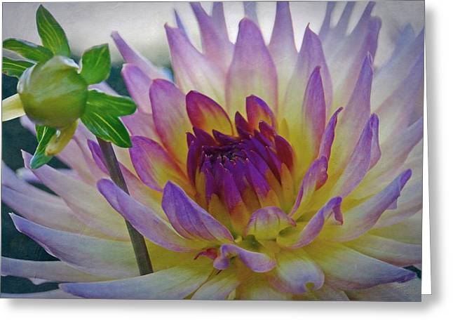 Dinner-plate Dahlia Greeting Cards - Bloom and Bud Greeting Card by Patricia Strand