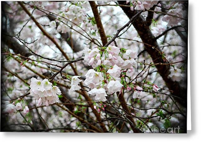 Greeting Cards - Blooming Apple Blossoms Greeting Card by Eva Thomas