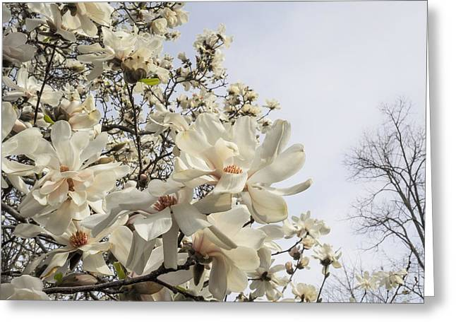 Mind-body-spirit Greeting Cards - Blooming Magnolia Stellata Star Magnolia Tree Greeting Card by Marianne Campolongo