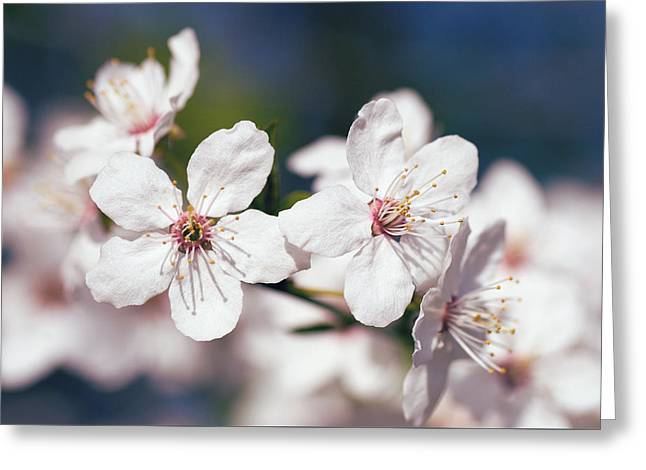 Plum Blossoms Greeting Cards - Blooming plum tree  Greeting Card by Martin Capek