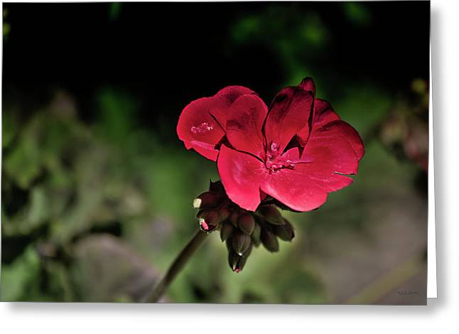 Blooming Red Geranium Greeting Card by Donna Lee