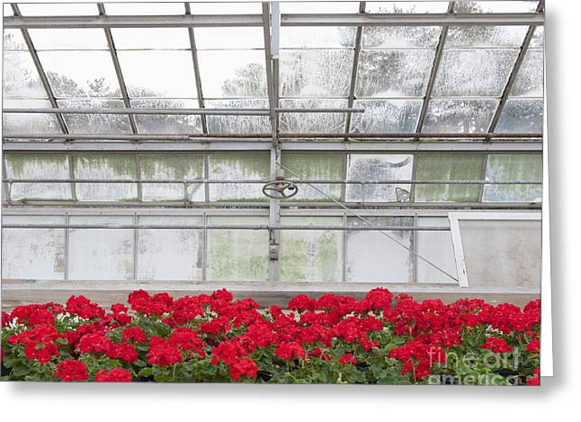 Red Geraniums Greeting Cards - Blooming Red Geraniums Greeting Card by Thom Gourley/Flatbread Images, LLC
