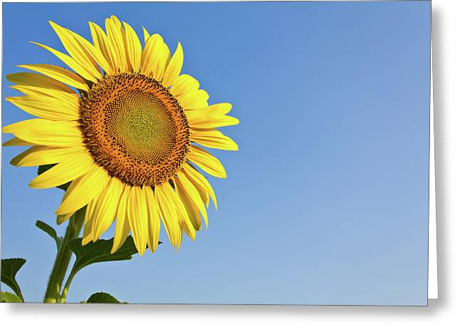 Sunflowers Greeting Cards - Blooming sunflower in the blue sky background Greeting Card by Tosporn Preede
