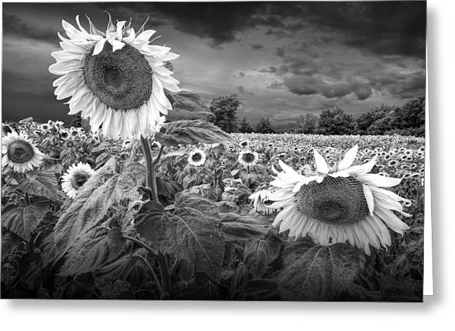 Randy Greeting Cards - Blooming Sunflowers in Black and White Greeting Card by Randall Nyhof