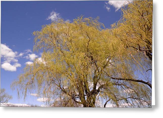 Weeping Greeting Cards - Blooming Weeping Willow Greeting Card by Kate Gallagher