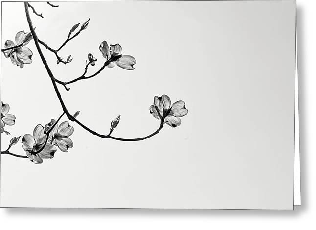 Dogwood Silhouette Greeting Cards - Blooms Greeting Card by Patricia Meszler