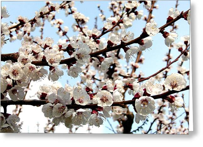 Apricot Greeting Cards - Blossoming Apricot Tree  Greeting Card by Will Borden