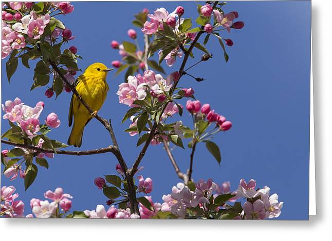 Warbler Greeting Cards - Blossoms and warbler Greeting Card by Mircea Costina Photography