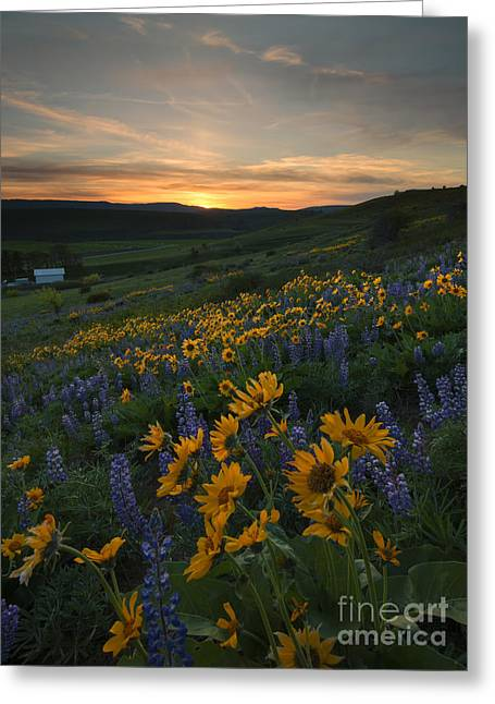 Lupine Greeting Cards - Blue and Gold Sunset Greeting Card by Mike Dawson