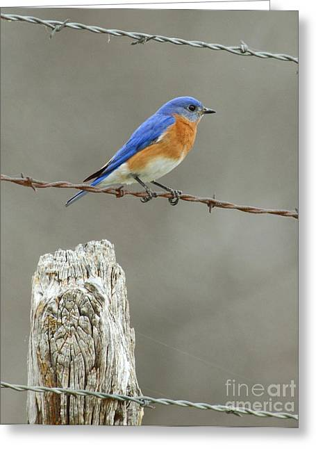 Bird Watcher Greeting Cards - Blue Bird On Barbed Wire Greeting Card by Robert Frederick