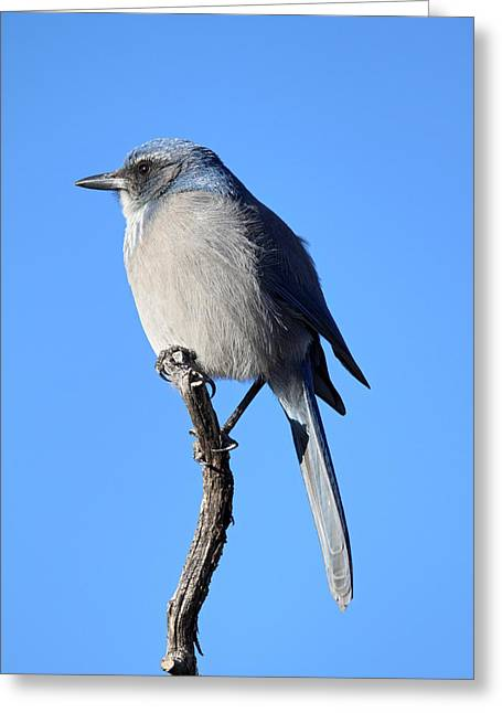 Blue Bird Greeting Card by Pierre Leclerc Photography