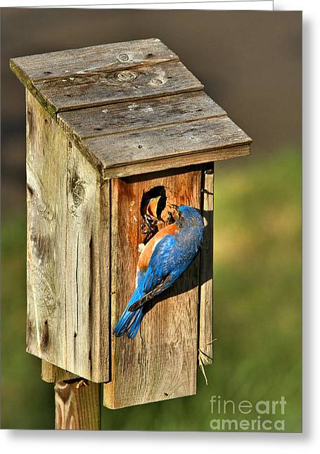 Bluebird Feeding Time Greeting Card by Adam Jewell