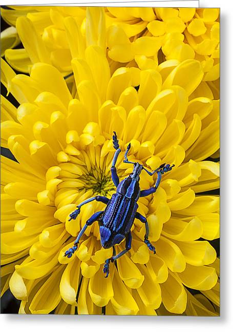 Boll Greeting Cards - Blue bug on yellow mum Greeting Card by Garry Gay