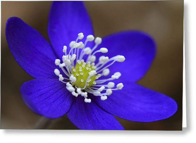 Nobilis Greeting Cards - Blue buttercup Greeting Card by Romeo Koitmae