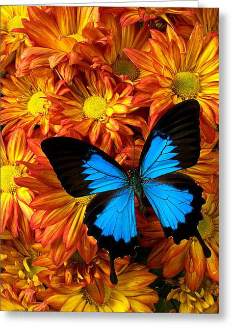 Science Greeting Cards - Blue butterfly on mums Greeting Card by Garry Gay