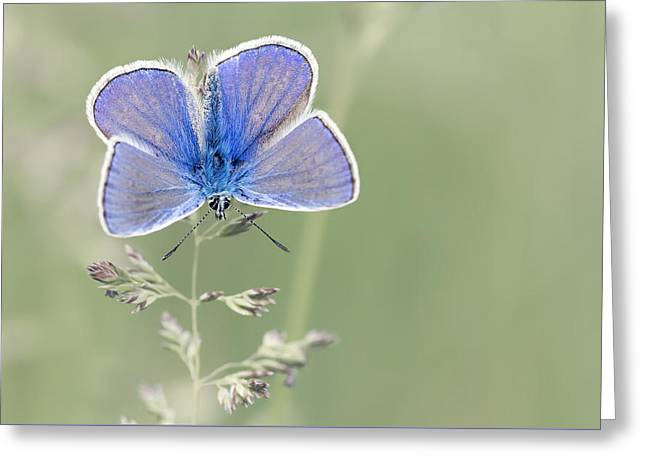 Flying Animal Greeting Cards - Blue butterfly  Greeting Card by Tiberiu Sahlean