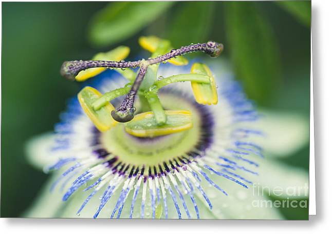 Passiflora Greeting Cards - Blue Crown Passiflora caerulea Passion Flower Greeting Card by Sharon Mau