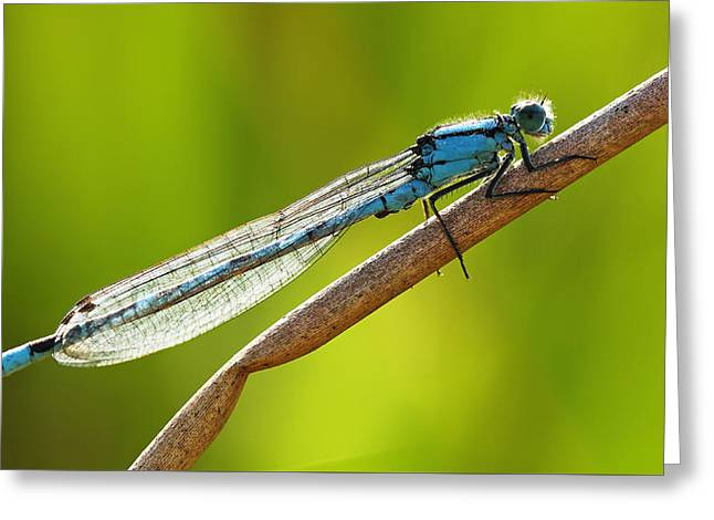 Biology Greeting Cards - Blue Damselfly Greeting Card by Grant Glendinning