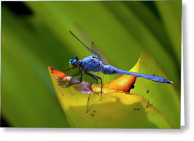 Mosquito Eater Greeting Cards - Blue Dasher Dragonfly Greeting Card by Sandra Anderson
