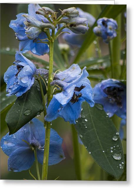 Oregon Greeting Cards - Blue Delphinium - SQ Greeting Card by Mandy Judson