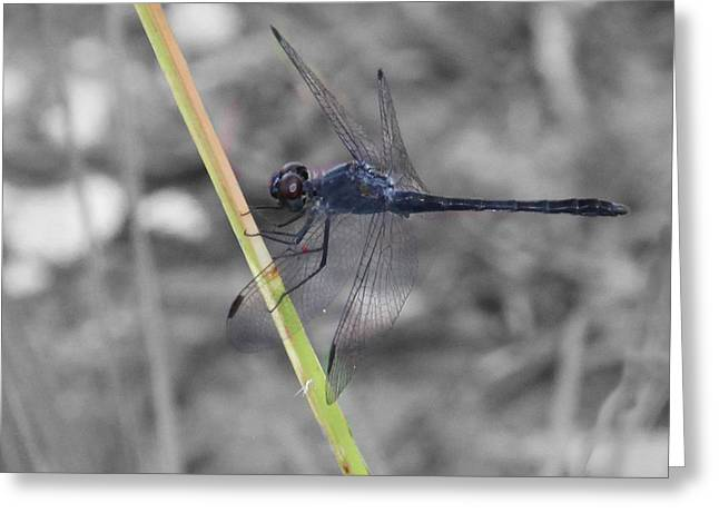 Dragon Fly Photo Greeting Cards - Blue Dragon Fly Greeting Card by Joseph G Holland