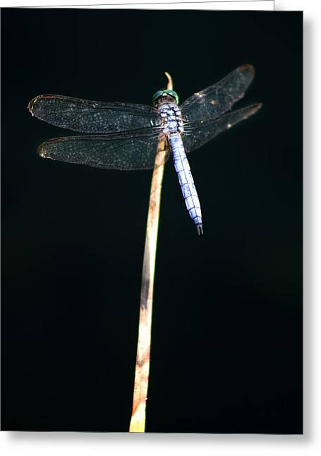 Dragonflies Greeting Cards - Blue Dragon on Stem Greeting Card by Chris Brannen