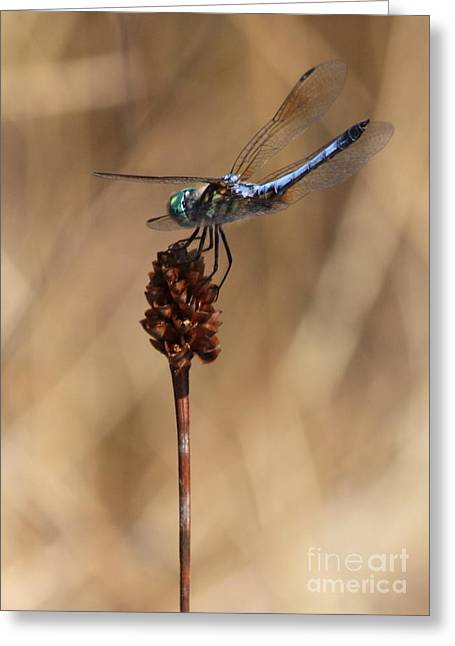 Blue And Brown Greeting Cards - Blue Dragonfly on Brown Reed Greeting Card by Carol Groenen