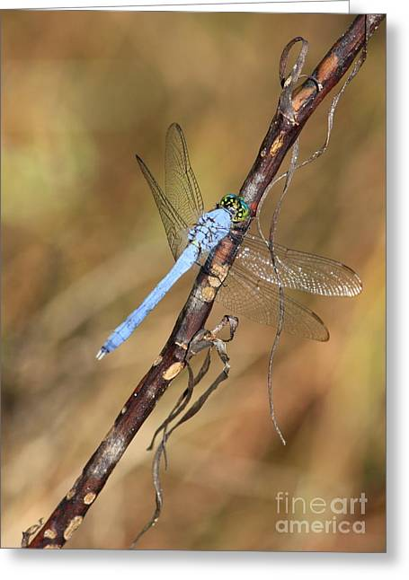 Flying Insect Greeting Cards - Blue Dragonfly Portrait Greeting Card by Carol Groenen