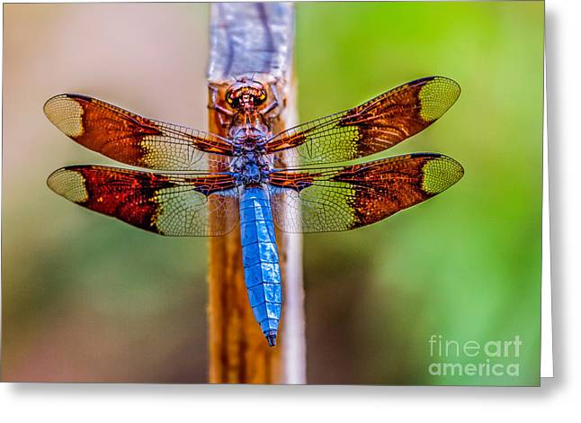 Dragon Flies Photographs Greeting Cards - Blue Dragonfly Greeting Card by Robert Bales