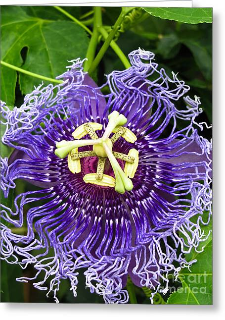 Passionflower Photographs Greeting Cards - Blue Eyed Suzy Greeting Card by Colleen Kammerer