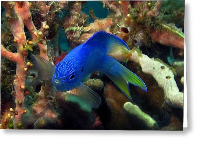 Underwater Photos Greeting Cards - Blue fish Greeting Card by Sergey Lukashin