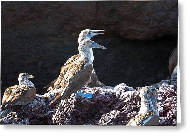 Seabirds Greeting Cards - Blue Footed Boobies on a Rock Greeting Card by Jess Kraft