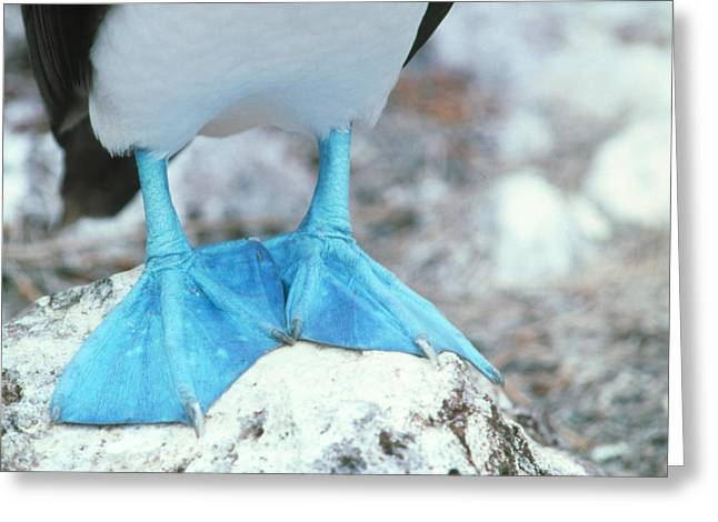 Plunge Greeting Cards - Blue-footed Booby Feet Greeting Card by Peter Scoones