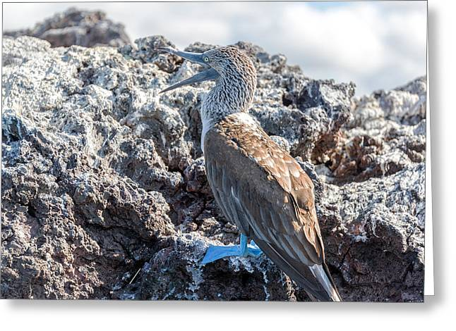 Blue Footed Booby Greeting Card by Jess Kraft