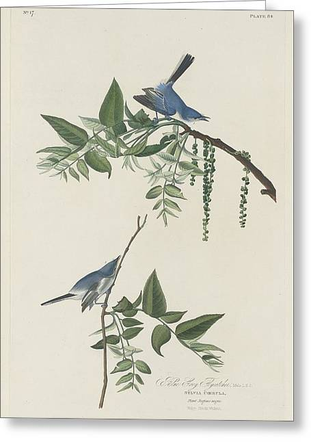 Small Bird Greeting Cards - Blue-Grey Flycatcher Greeting Card by John James Audubon