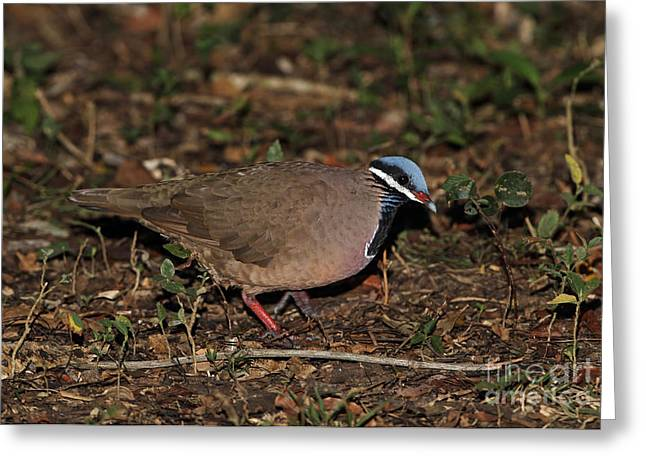 Greater Antilles Greeting Cards - Blue-headed Quail-dove Greeting Card by Neil Bowman/FLPA