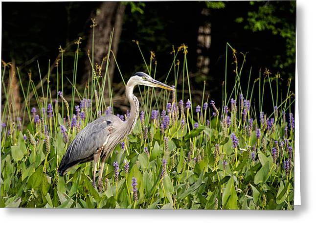 Powder Greeting Cards - Blue Heron on Powder Mill Pond Greeting Card by Donna Doherty