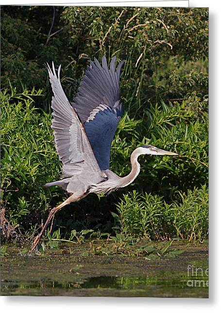 Wetland Greeting Cards - Blue Heron Greeting Card by Robert Pearson
