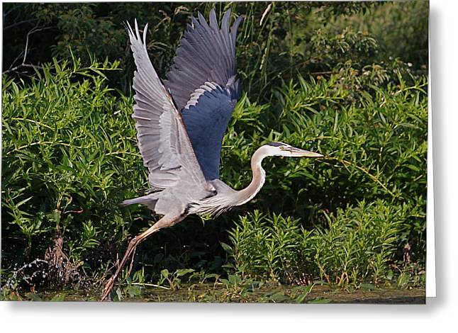 Blue Heron Greeting Card by Robert Pearson