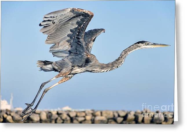California Beaches Greeting Cards - Blue Heron Takes Flight Greeting Card by Eddie Yerkish
